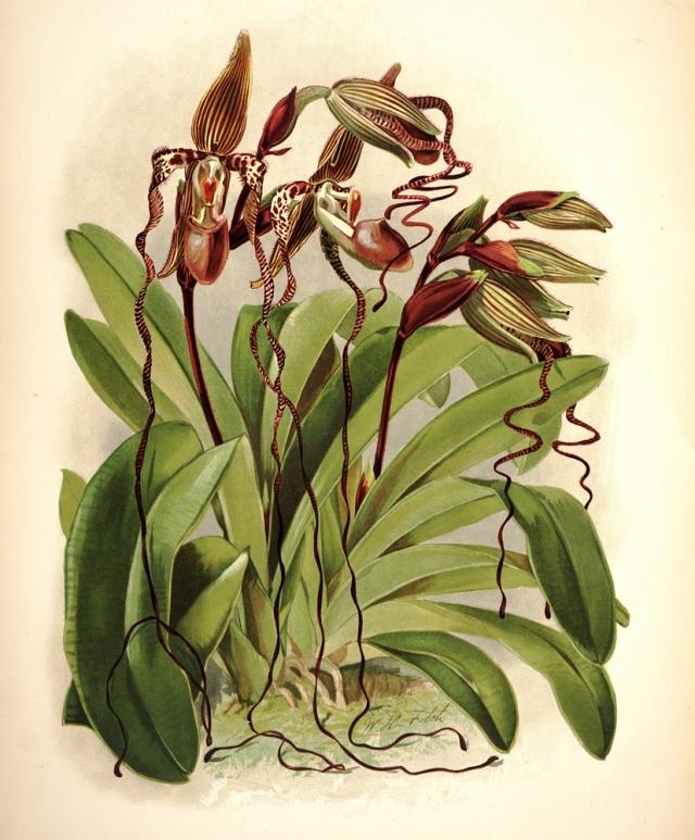 Paphiopedilum-sanderianum.jpg