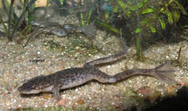 Карликовый когтеносец - житель аквариума.