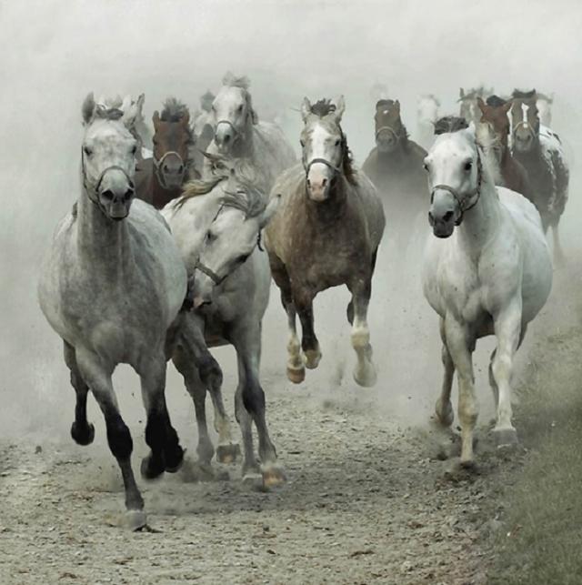 Скачущий табун племенных чистокровных арабских лошадей.