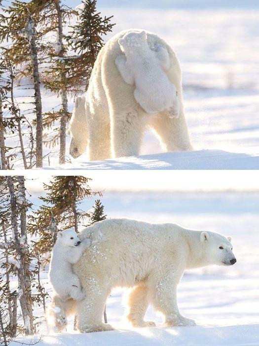 cute-baby-polar-bear-day-photography-23__700 (525x700, 71Kb)