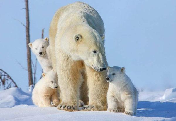 уменьшается численность белых медведей
