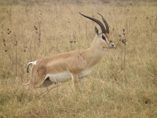 Животное может развивать большую скорость, сравнимую со скоростью автомобиля.