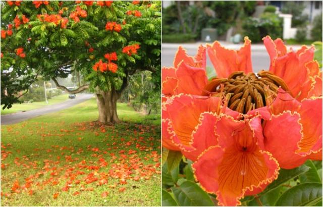 Одно из самых красивоцветущих деревьев в мире входит в список опасных инвазивных видов, распространение которых угрожает биологическому многообразию.