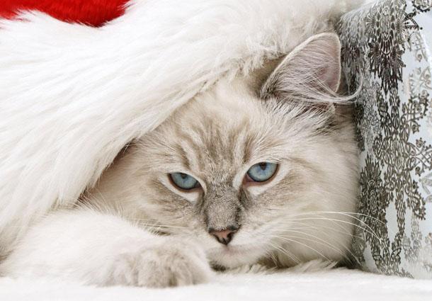 """Новогодняя картинка """"Кот в шапке Санта-Клауса"""""""