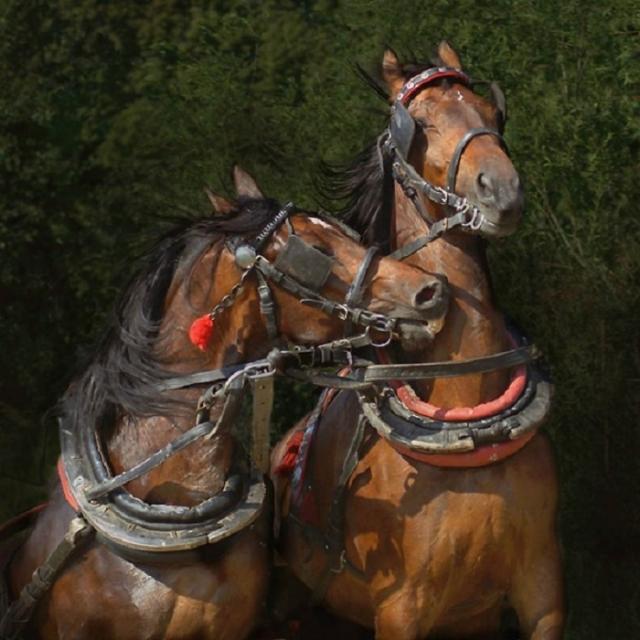 Лошади арабской чистокровной породы считаются долгожителями – многие доживают до 30 лет.