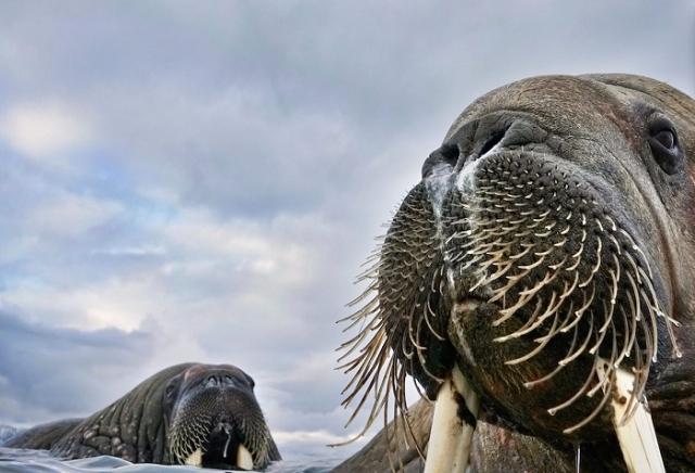 Осторожная моржиха с детенышем неподалеку от норвежского архипелага Свальбард. Автор фотографии: (Valter Bernardeschi), Вальтер Бернардеши, Россия.