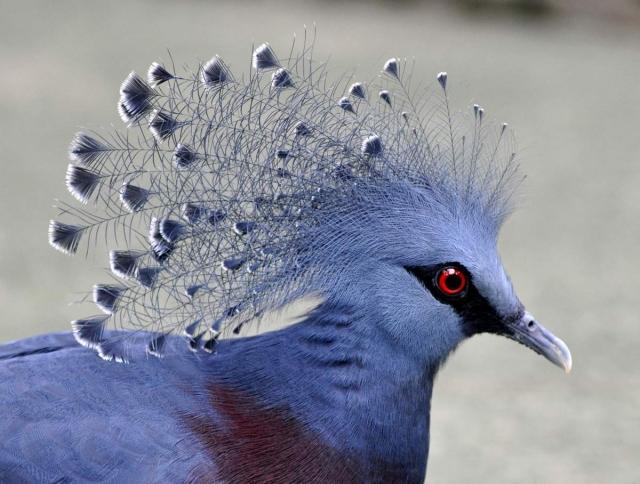 """""""Корона"""" венценосного голубя состоит из тончайших нежнейших перьев."""