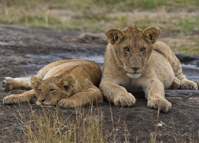 Фото: Могучие и грациозные африканские львы (Фото)