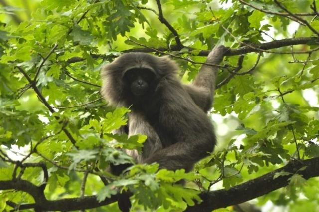 Гиббоны Мюллера - дневные животные, обитающие в дождевых лесах.