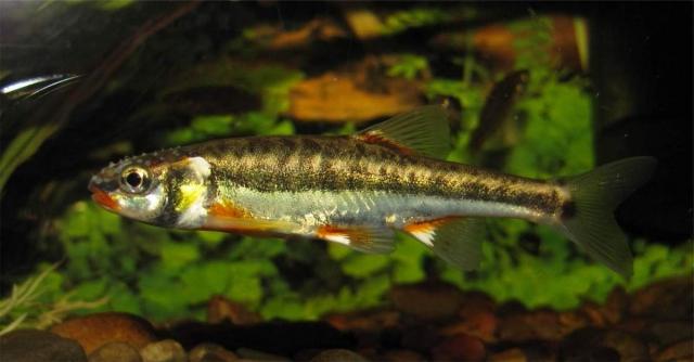 Гольян (Phoxinus).