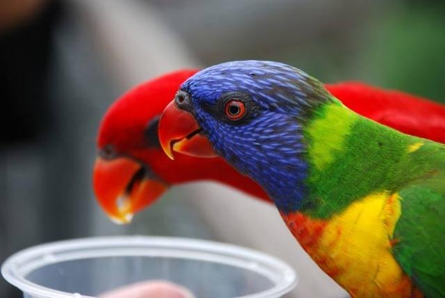 Очень красивые и интеллигентные птицы, с невероятным окрасом и нежнейшим оперением.