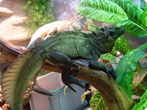 Парусная ящерица Вебера (Hydrosaurus weberi)