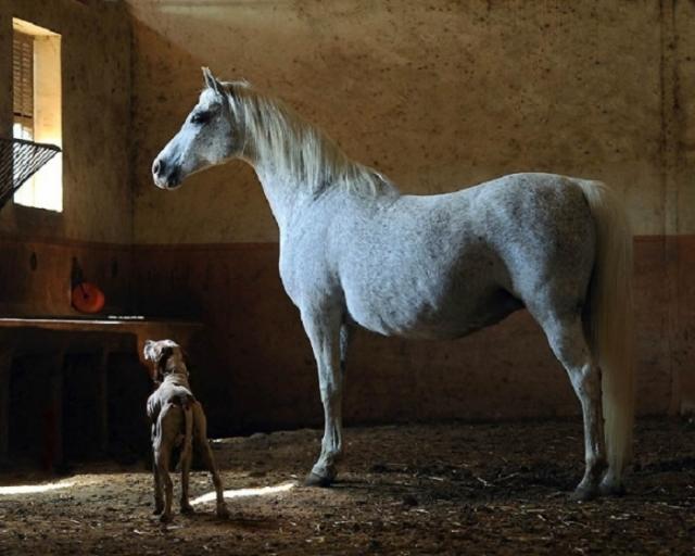В прошлом арабских лошадей бедуины держали прямо возле шатров.