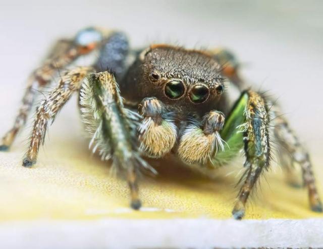 Габронат (Habronattus calcaratus)