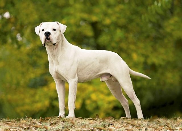 Белоснежные мускулистые красавцы из Южной Америки зарекомендовали себя бесстрашными служебными собаками с покладистым характером. /Фото: royal-canin.ru