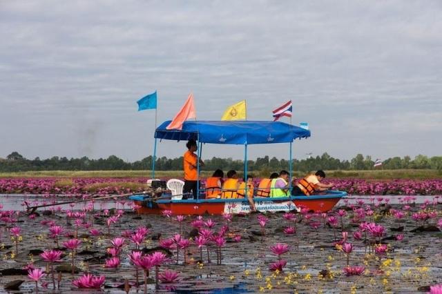 Озеро розовых лотосов в Таиланде