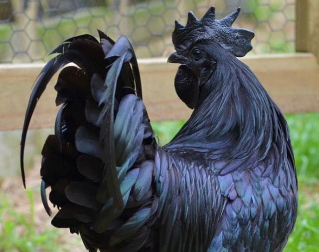 Порода петуха с абсолютно черным окрасом (8 фото)