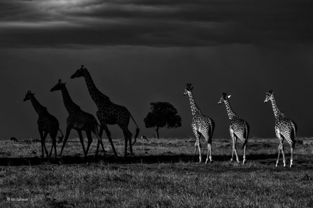 Шесть жирафов