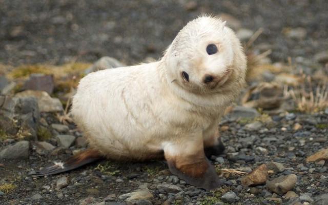 Детеныш гренландского тюленя - лысуна.
