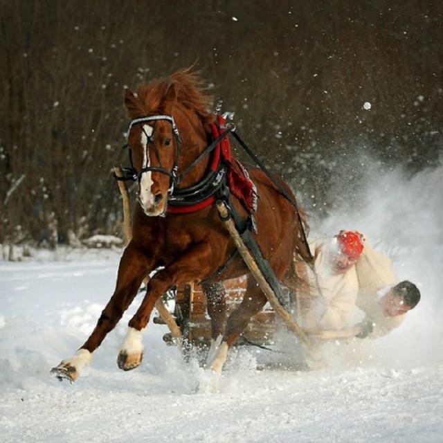Арабские лошади отличаются подвижностью и выносливостью.