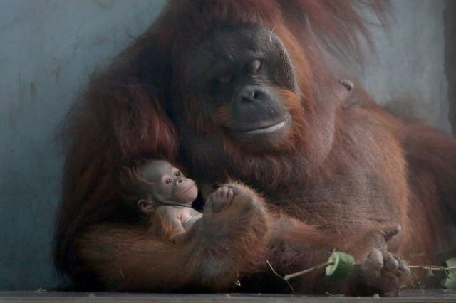 Очень дружная семья орангутангов в зоопарке Шанхая