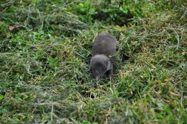 Плодовитость малой бурозубки 2-10 детенышей.
