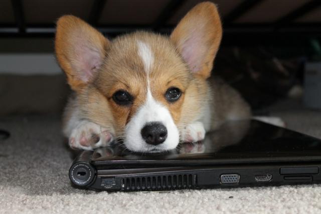 Картинки по запросу Вот что получается, когда скрещиваешь корги с другими породами собак.