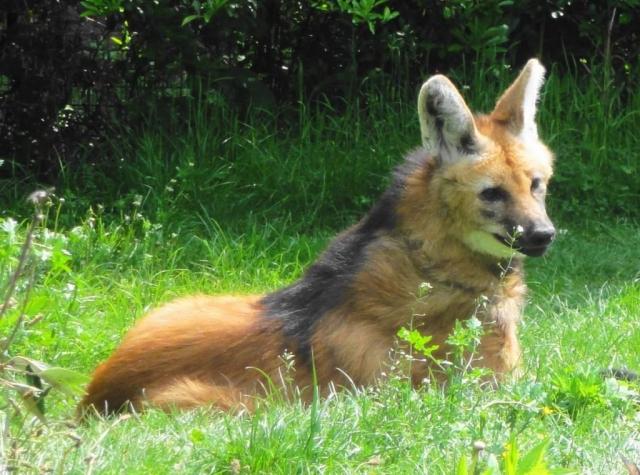 Люди не едят мясо гривастых волков, их шкуру они также не используют.