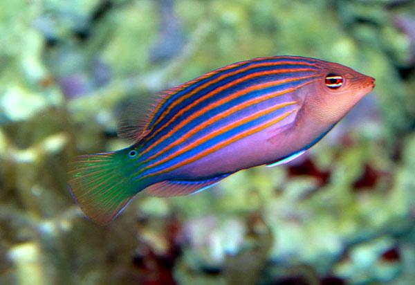 Губан шестиполосый (Pseudocheilinus hexataenia), фото рифовые рыбки картинка