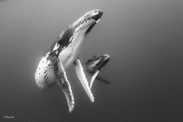 Горбатые киты. Мать и детеныш