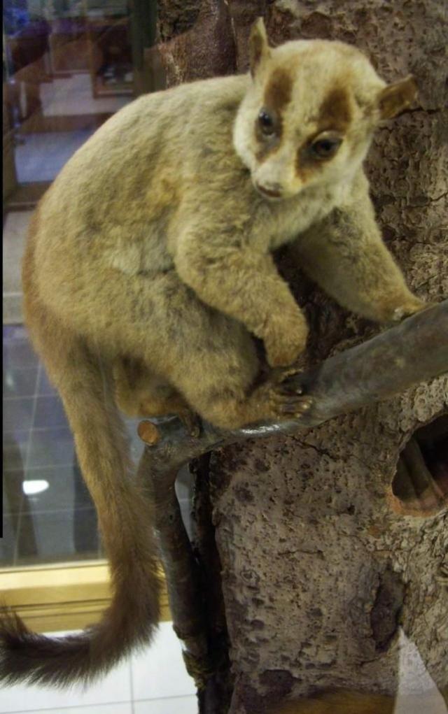 Род Лемуры вильчатополосые - Phaner включает до 4 видов; однако, возможно, монотипичен.