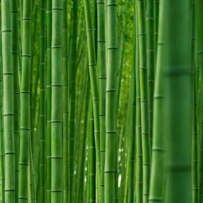 Фотограф показал бамбуковые леса в Японии. Фото