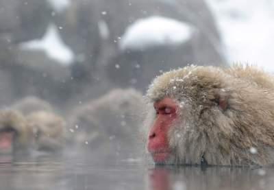 Ради этих обезьян туристы едут толпами на север Японии. Фото