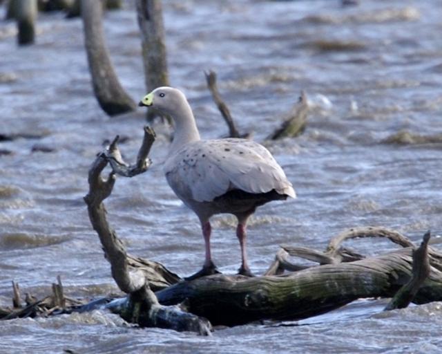 Куриные гуси добывают пищу в водоемах.