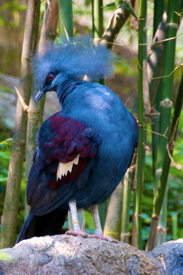 Венценосные голуби этого вида обитают только в северной части Новой Гвинеи.