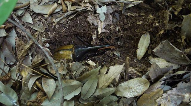 Жук-геркулес на земле