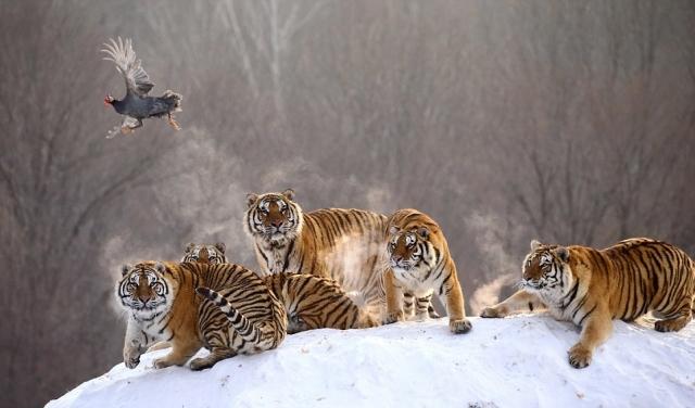 Большие кошки играют со своей едой