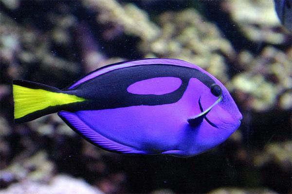 Хирург голубой королевский (Paracanthurus hepatus), фото морские рыбки фотография