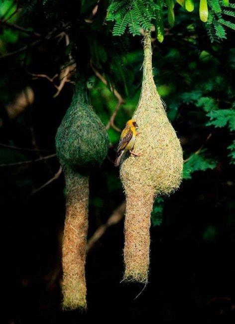Необычные птичьи гнёзда (17 фото)