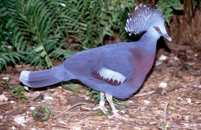 За один сезон размножения венценосные голуби выводят только одного, очень редко - двух, птенцов.