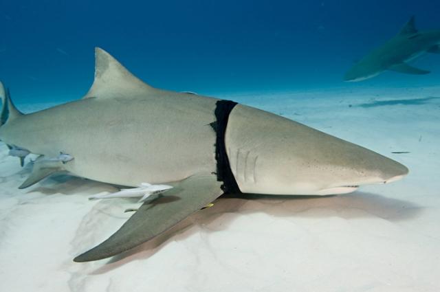 Акула, застрявшая в остатках пластикового пакета. Фото: Jonathan Bird.