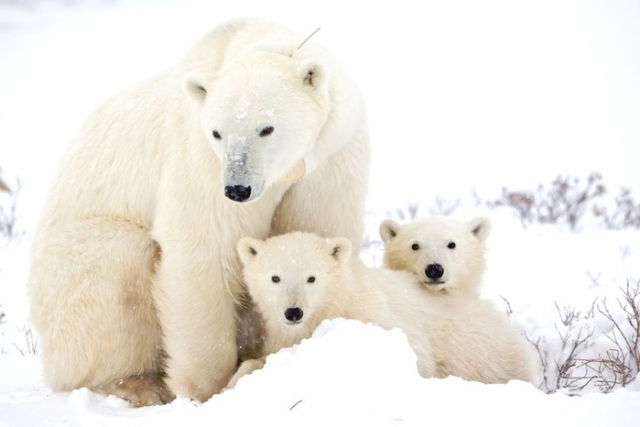 Cute-Polar-Bear-polar-bears-35634913-1600-1067 (700x466, 51Kb)