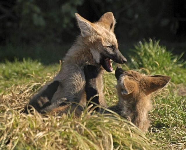 Беременность у гривистого волка длится 62—66 дней.