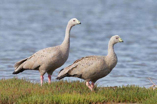Куриные гуси в сезон размножения выбирают места на берегах реки
