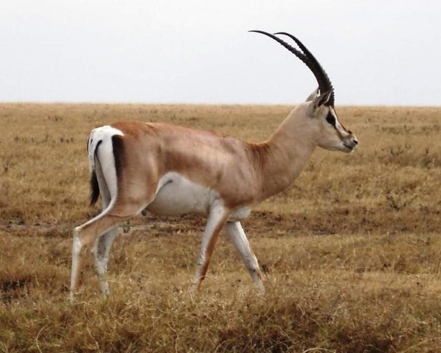 Газель Гранта обитает на территории Африканского континента.