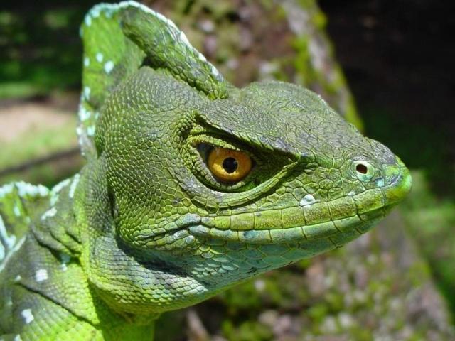 Название животному дали из-за того, что гребень на его теле вызывает ассоциацию с мифическим существом василиском.
