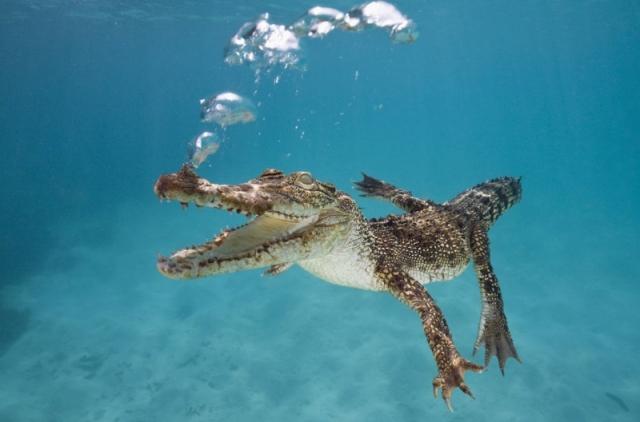 Фотоподборка сухопутных животных, застигнутых за плаванием