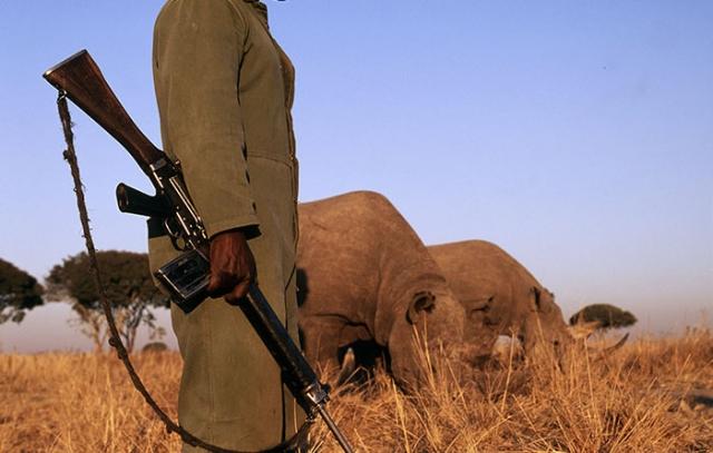 Каждый носорог в парке - под надежной защитой.