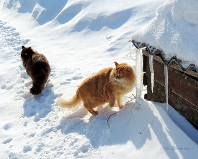 Семейство сибирских кошек живет на ферме более 10-ти лет.