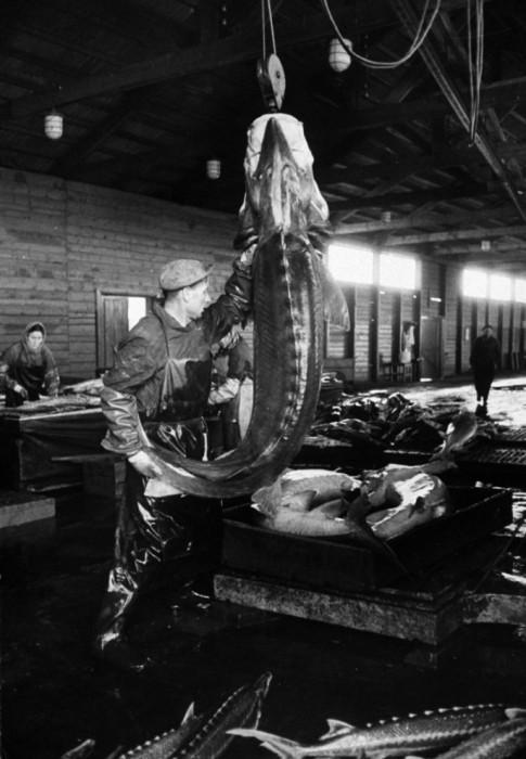 Цех по переработке рыбы. СССР, Астраханская область, 1960-е годы.